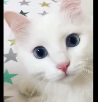 white baby cat with blue eyes