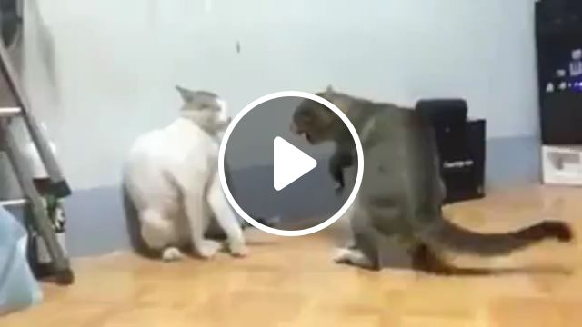 How To Stop Cats Fighting - Video & GIFs | cat aggression, catfight, your cat, behavior, feral cats, fighting usually, cats keep fighting