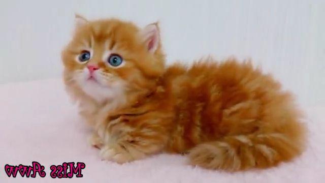 Fluffy Orange Kitten With Blue Eyes