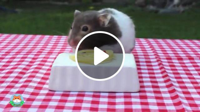 Cute hamster eating spaghetti, spaghetti dinner, cute animal, cute hamsters, funny animals, baby animals, funny hamsters, adorable tiny, syrian hamster, robo dwarf