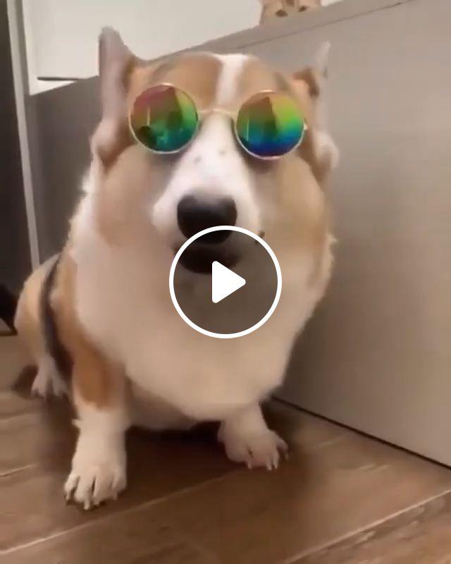 Smile Corgi Dog Cool Sunglasses Glasses - Video & GIFs   corgi funny, corgi dog, funny animal videos, corgi gif, cute corgi, funny dogs, cute puppies, corgi dog breed
