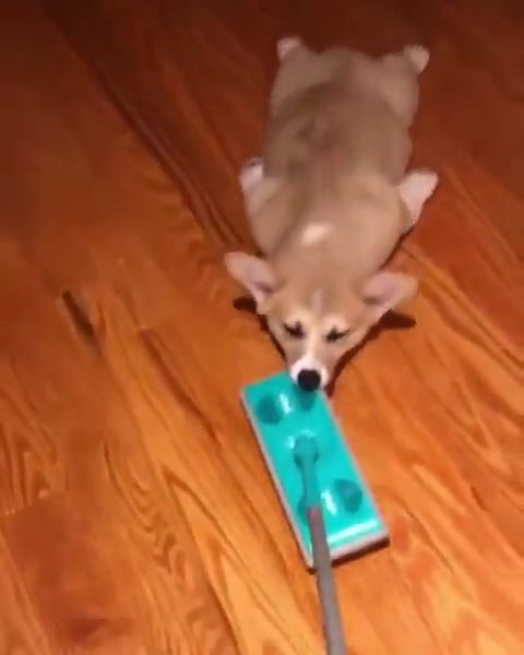 Lazy dog puppy pull corgi