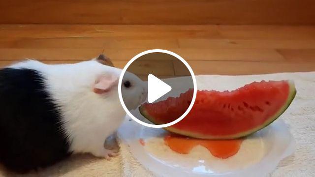 Cute Guinea pig eats watermelon, guniea pig, funny animals, watermelon rind, can guinea, watermelon pets, adorable animals