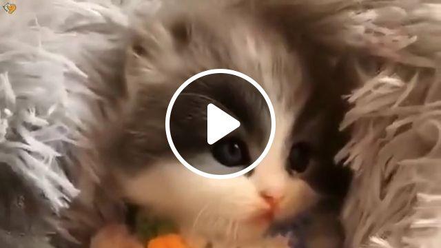 Purrfect Baby Munchkin Cats - Video & GIFs | baby cat, kittens, kitty, kitten pile, cat, kitten videos, fluffy, cats, pile of kittens, kitten cute, cat pile, adorable, paws, baby kitten, munchkin cutest kitten ever