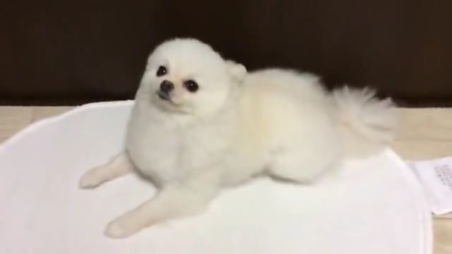 White Pomeranian puppy becomes smooth