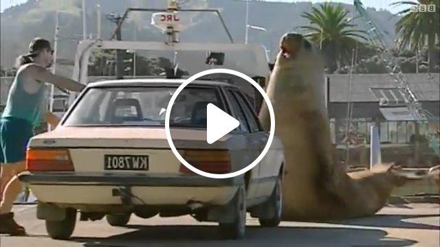 Elephant Seal Facts - Video & GIFs   sea lion, walrus, marine mammal, northern elephant, fun facts, animal, southern elephant, southern elephant seal, elephant seal habitat