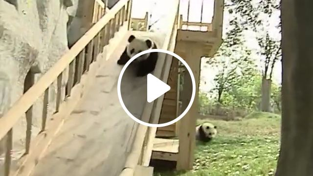 Cute pandas playing on the slide, slide gif, slide video, animals cute, panda bears, giant pandas, baby animals, funny animals, baby panda, nature animals
