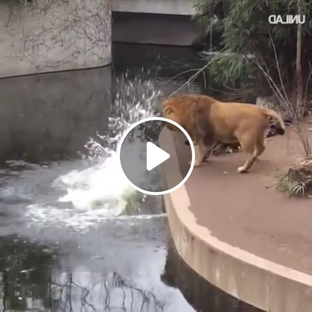 Lion Falls In Water - Video & GIFs | lion slide falls, funny lion, falls into water, embarrassing moments, clumsy lion, national park