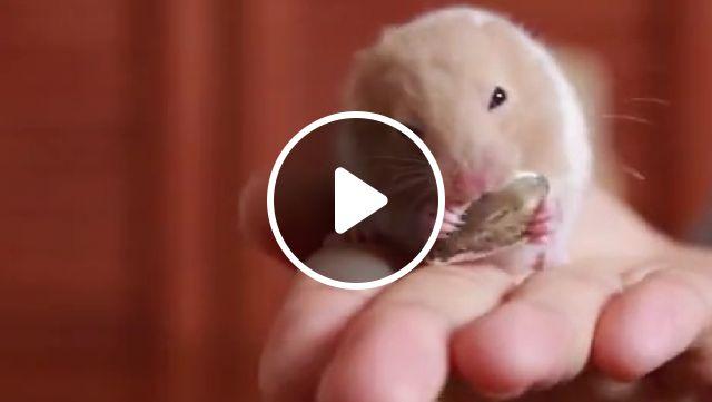 Cute Hamster Eating Sunflower Seeds - Video & GIFs | dwarf hamster, tiny, cute, humster, sunflower seeds, cute hamster