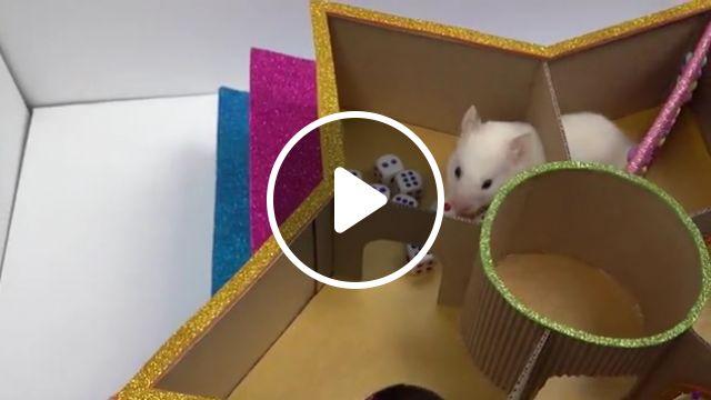 Funny Little Hamster In Star Maze - Video & GIFs | hamster, maze, labyrinth, hamster maze, funny, cute hamster, the secret life of my hamster, cardboard, diy, pet, funny hamster, little hamster, level maze