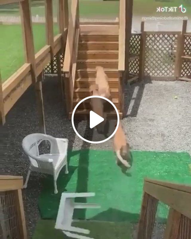 These Dogs Like To Play In The Pool - Video & GIFs | funny animal, cute funny dogs, cute animal, animal pics, animals and pets, funny animals, cute animals, golden dog