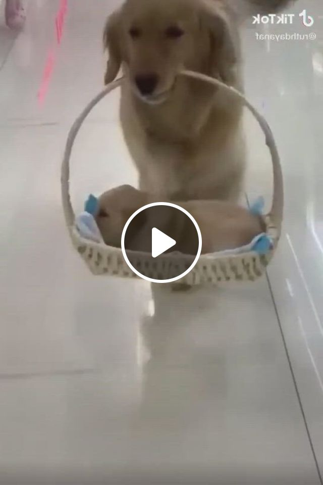 This Is What A Proud Mom Looks Like - Video & GIFs | really cute puppies, cute puppies golden retriever, cute baby dogs, super cute puppies, silly dogs, cute cats and dogs, cute dogs and puppies, baby puppies, cute baby animals, animals dog