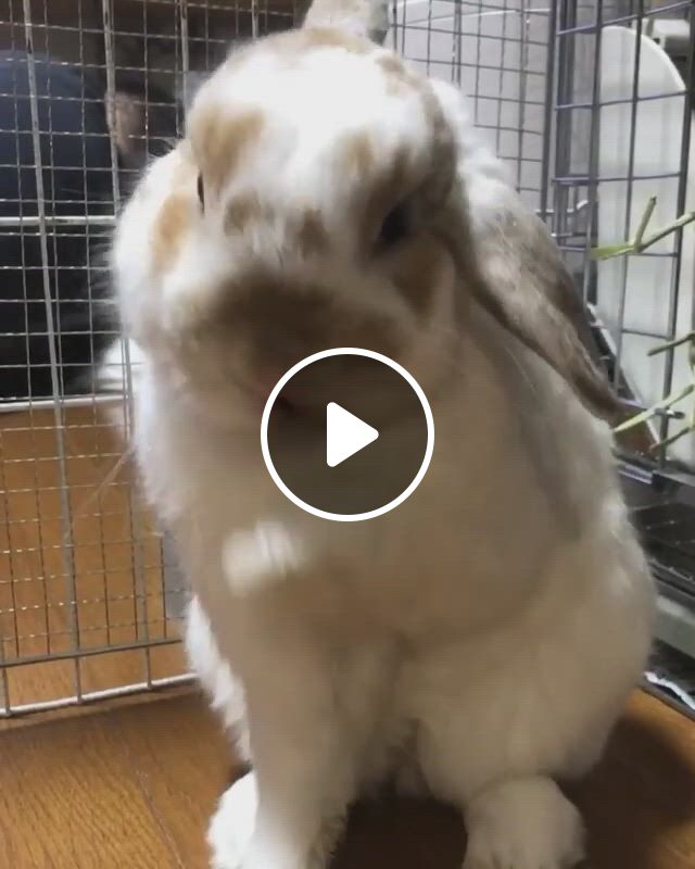 Rabbit Cleaning In Cage - Video & GIFs | cutest bunny ever, cute baby bunnies, cute baby animals, animals and pets, pet bunny rabbits, pet rabbit, lop bunnies, funny cute cats, cute funny animals, funny birds