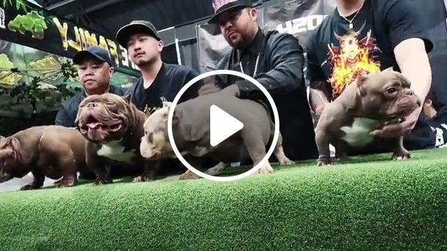 Teacup Bully Baby, micro bull, teacup dog, teacup, dogs, bulldogs, baby sushi, worlds smallest, exotic bully, american bully, gunuis world record, show stopper