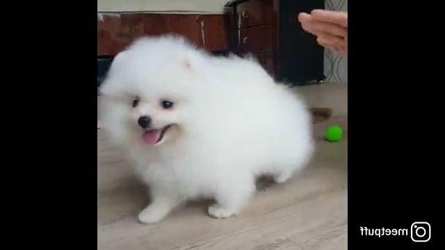 Pomeranian Puppy Ball Brushing Session