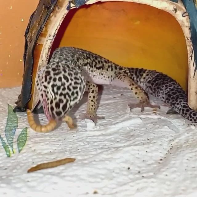 Leopard Gecko Eating Mealworms