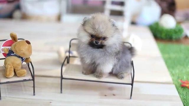 Tiny and Cute Teacup Pomeranian Puppy - Video & GIFs | micro tiny,teddy bear,dog breeds,cute animals,baby animals,micro teacup,micro pomeranian,funny animals,little animals
