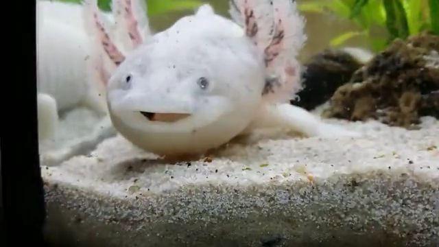 Fish stuck in axolotl gills