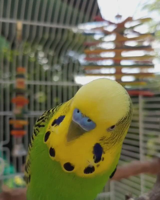 Budgie Cage - Parakeet Cage