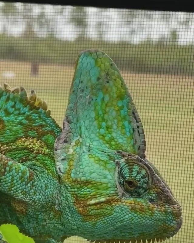 Chameleon Safe Plants - Video & GIFs | reptile supplies,reptile care guides,cute animals,chameleon cage,animals,chameleon enclosure,reptiles,cage,pets,pretty animals,cute funny animals