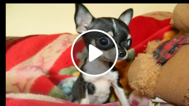 Adorable Teacup Chihuahua Puppy - Video & GIFs   cute animals, tiny puppies, teacup chihuahua puppy