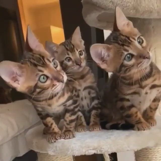Bengal Cat Kitten on Cat Tree - Video & GIFs | cute cats and kittens,cool cat trees,bengal cat kitten,cool cats,cute baby animals,funny animals,exotic cats,here kitty kitty,cat gif,guinea pigs