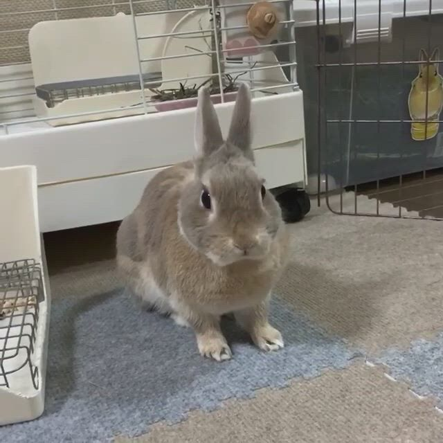 Rabbit Cage Ideas - Moving On Up - Video & GIFs | cute baby bunnies,cute animals,cute baby animals,pet bunny rabbits,dwarf bunnies,pet rabbit,large rabbits,funny animal quotes,cute funny animals,animals and pets,bunny cages