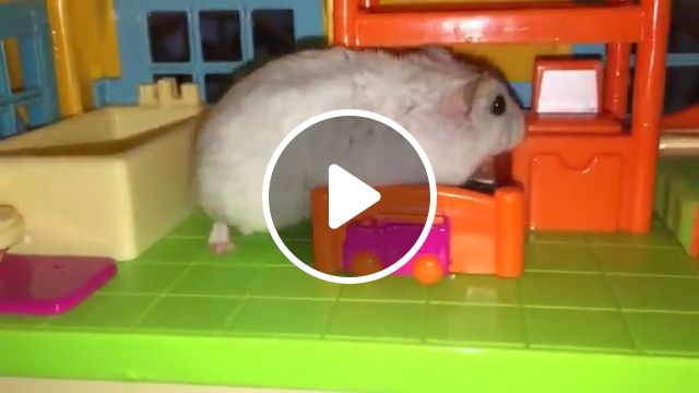 Funny Videos About Hamsters - Video & GIFs | hamster domesticated animal, animal film genre, best, top, hits, video clip media genre, hamster in a hammock, hamster eating, hamster, cute, funny, hamsters, office hamsters, cate, videos about hamsters