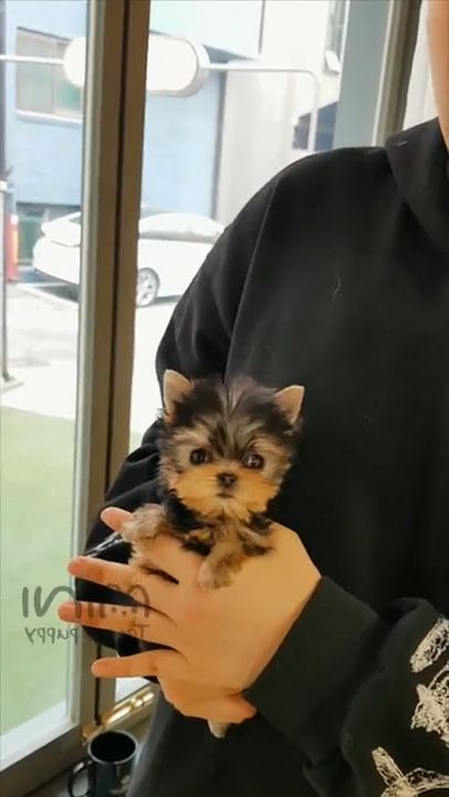 Teacup size beautiful yorkie puppy