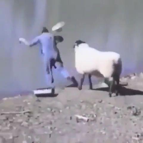 Troll Sheep Meme