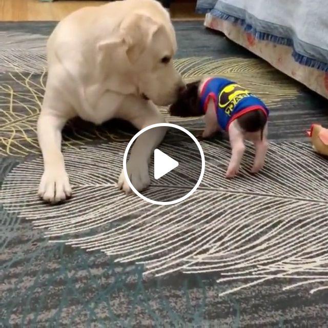 Cute Baby Labrador Retriever Dog - Video & GIFs   baby golden retriever, cute dogs, labrador dog price, lab puppies, baby labrador for sale, cute labrador puppy, labrador retriever puppy, labrador retriever training, labrador retriever care