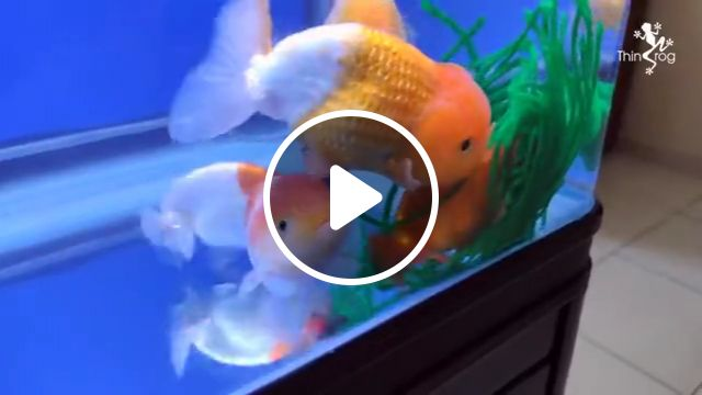How To Breed Goldfish Video Gifs Natural Way Spawning Spawning Mop Hand Spawning Betta Fish Betta Fish Fry Hatching Hatching Tank Koi Fry Koi Flowerhorn Parrot Fish Pond Aquarium