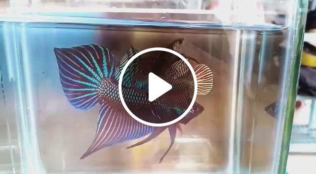 Betta Fish Bowl Ideas - Video & GIFs   betta fish tank, betta, betta fish, betta fish bowl, beta fish, fish tanks, aquariums, betta tank mates, amano shrimp, ghost shrimp, pets