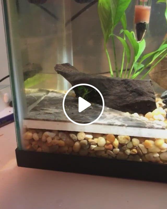 Betta Fish Bowl Ideas - Video & GIFs   betta fish, betta fish bowl, betta tank mates, betta fish tank, fish tanks, amano shrimp, ghost shrimp, cherry shrimp, fish list