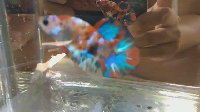 Betta Habitat and Care - Video & GIFs   betta fish tank,betta,betta fish,betta fish types,betta tank mates,amano shrimp,ghost shrimp,cherry shrimp,fish list,nano tank,tatoo