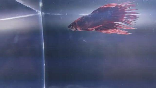 Using 5 Betta Fish Strategies Like The Pros - Video & GIFs | betta tank mates,betta fish,betta,amano shrimp,ghost shrimp,cherry shrimp,fish list,snoopy images,nano tank,male male