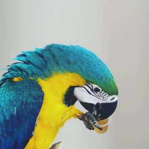 Beautiful bird - Video & GIFs   parrot pet,pet birds parrots,parrot,funny birds,cute birds,pretty birds,beautiful birds,animals beautiful,birds pics,cartoon birds,exotic birds,colorful birds