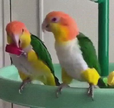 Funny parrot - Video & GIFs | funny parrots,pet birds parrots,pet birds,funny birds,cute birds,cute funny animals,caique parrot,parrot bird,parrot pet,cocktail movie,cocktail sauce,cocktail shaker