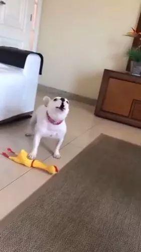 Singing with plastic chicken