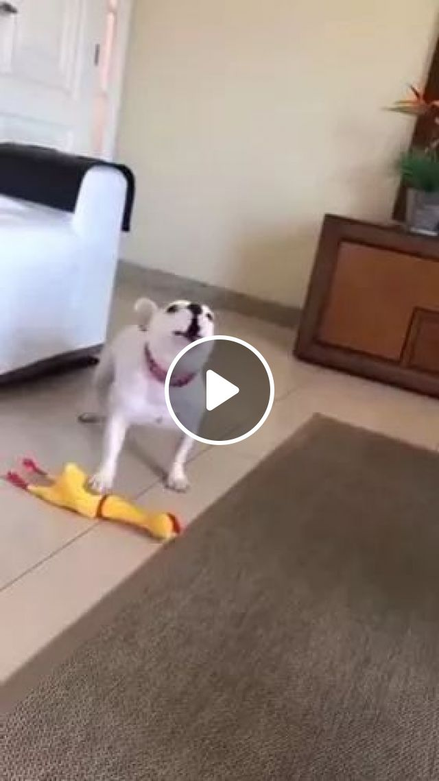 Singing with plastic chicken, animals, french bulldog, funny dog, sofa, rubber chicken