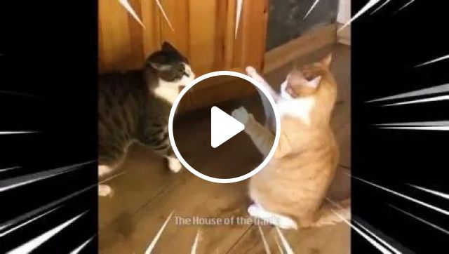 Stop Time, animals, funny cat, fight, wood floor
