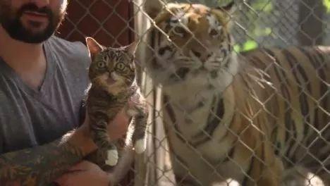 When a small cat meets big cats