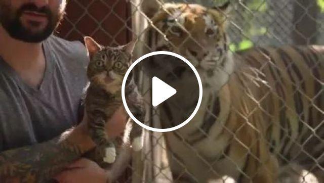 When a small cat meets big cats, animals, Cat, Tiger