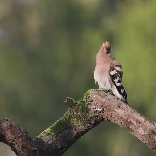 Astonishing eurasian hoopoe - Video & GIFs | funny birds,animals beautiful,south african animals,i like birds,cute birds,pretty birds,beautiful birds,cute funny animals,funny animal ,south african birds