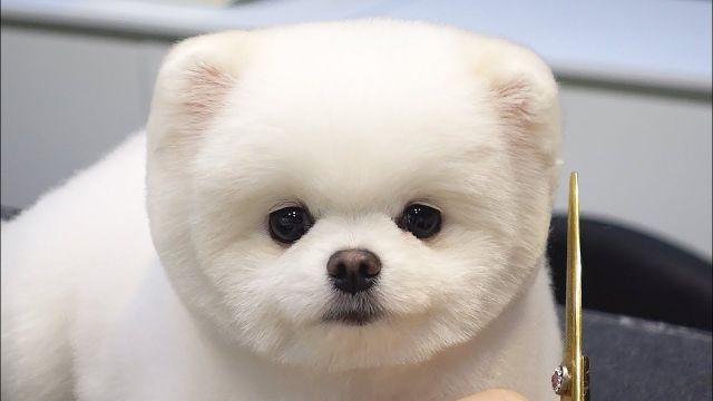 Information Pomeranian dog