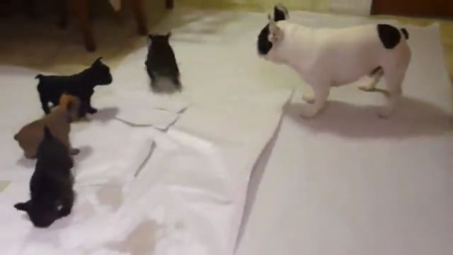 Baby French bulldog playing