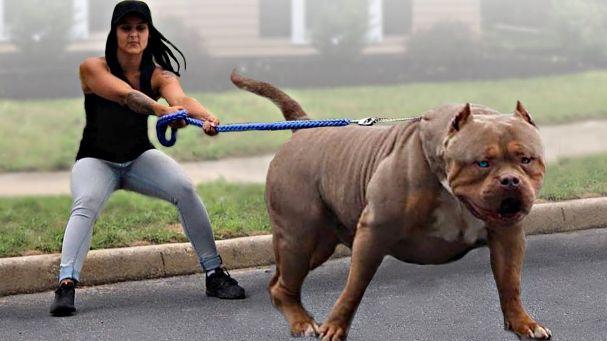 Bulldogs Breeds | English Bulldog, American Bulldogs, Bulldog, Bulldog Breeds