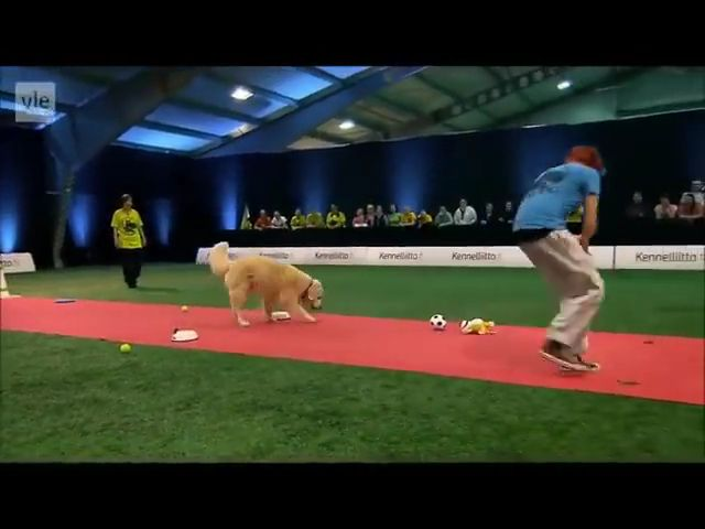 Golden Retriever dog Really Wants To Race But First Things First