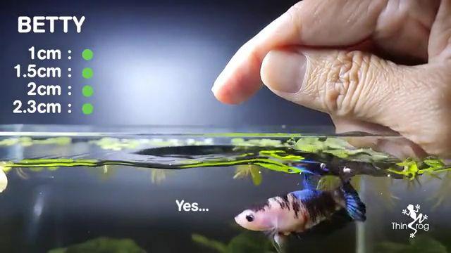 Beta fish jump