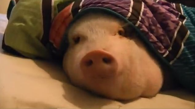 Cute Sleeping Pig